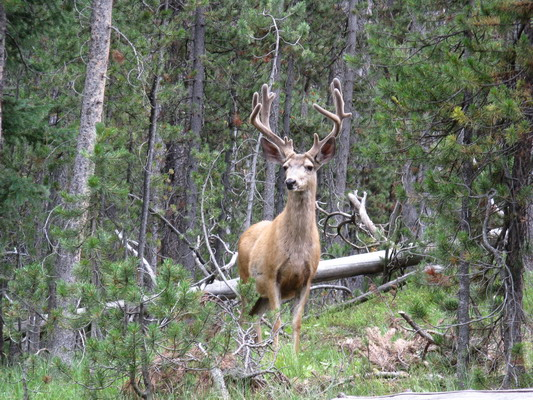 King Stag, Yellowstone, by Kathy