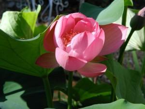 Lotus bud unfurls like Focusing attention