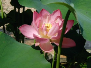 Lotus Fully Open, Potential Fulfilled